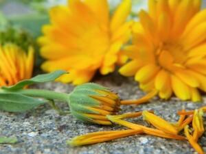 marigold-2827292_640