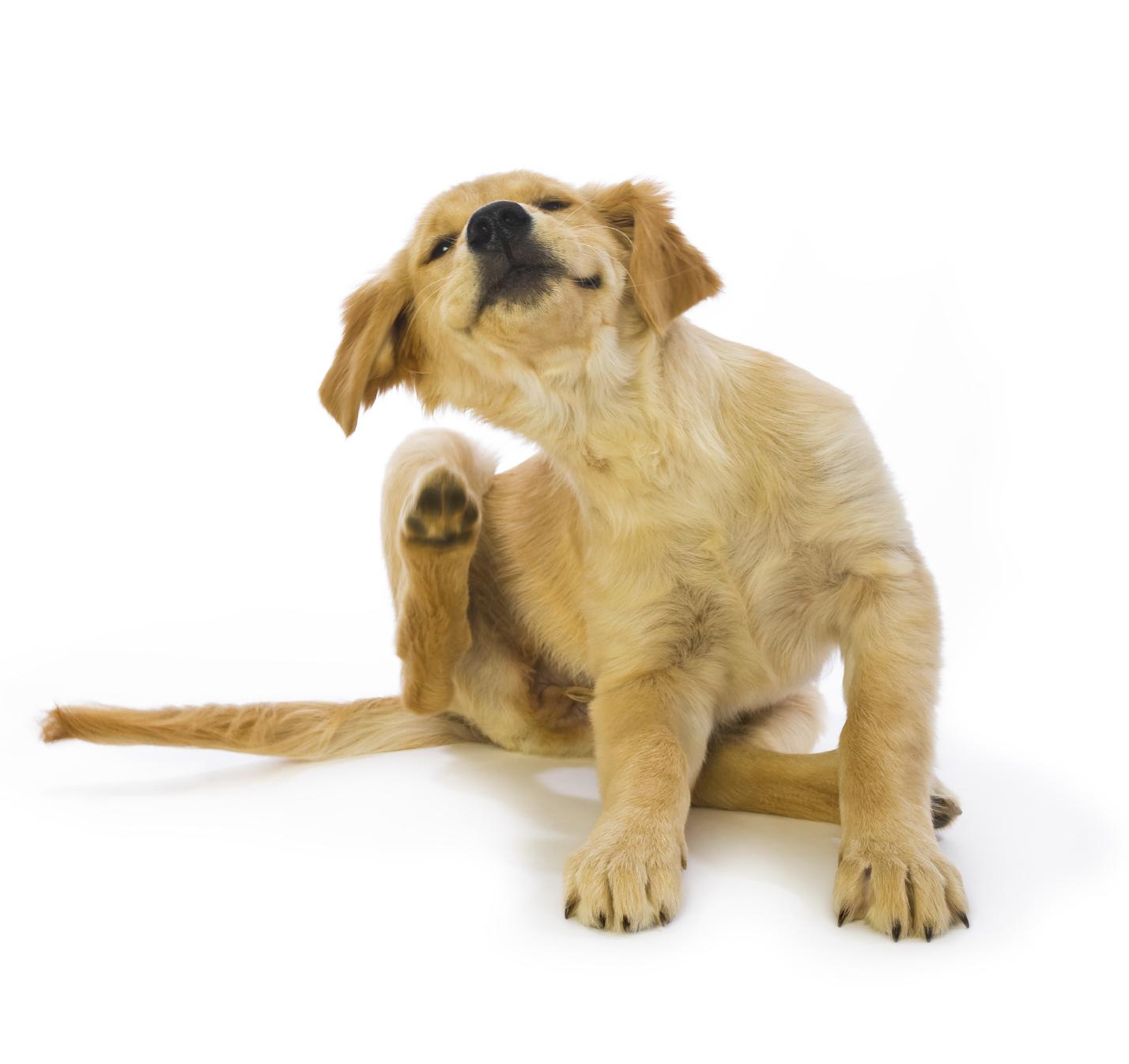 chien-puces